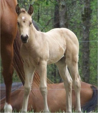 QuarterHorseFilly2Weeks1