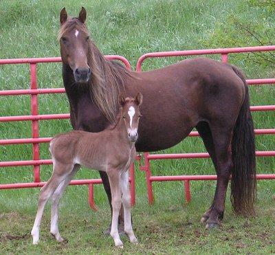 Morgan _Horse_2