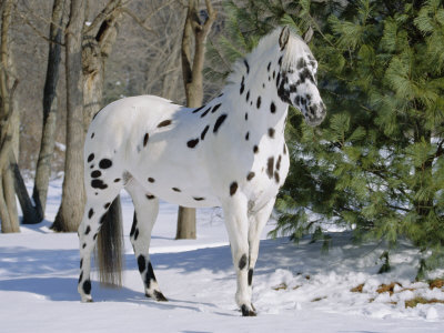 Appaloosa-Horse-in-Snow-Illinois-US A-Photographic-Print-C13062129