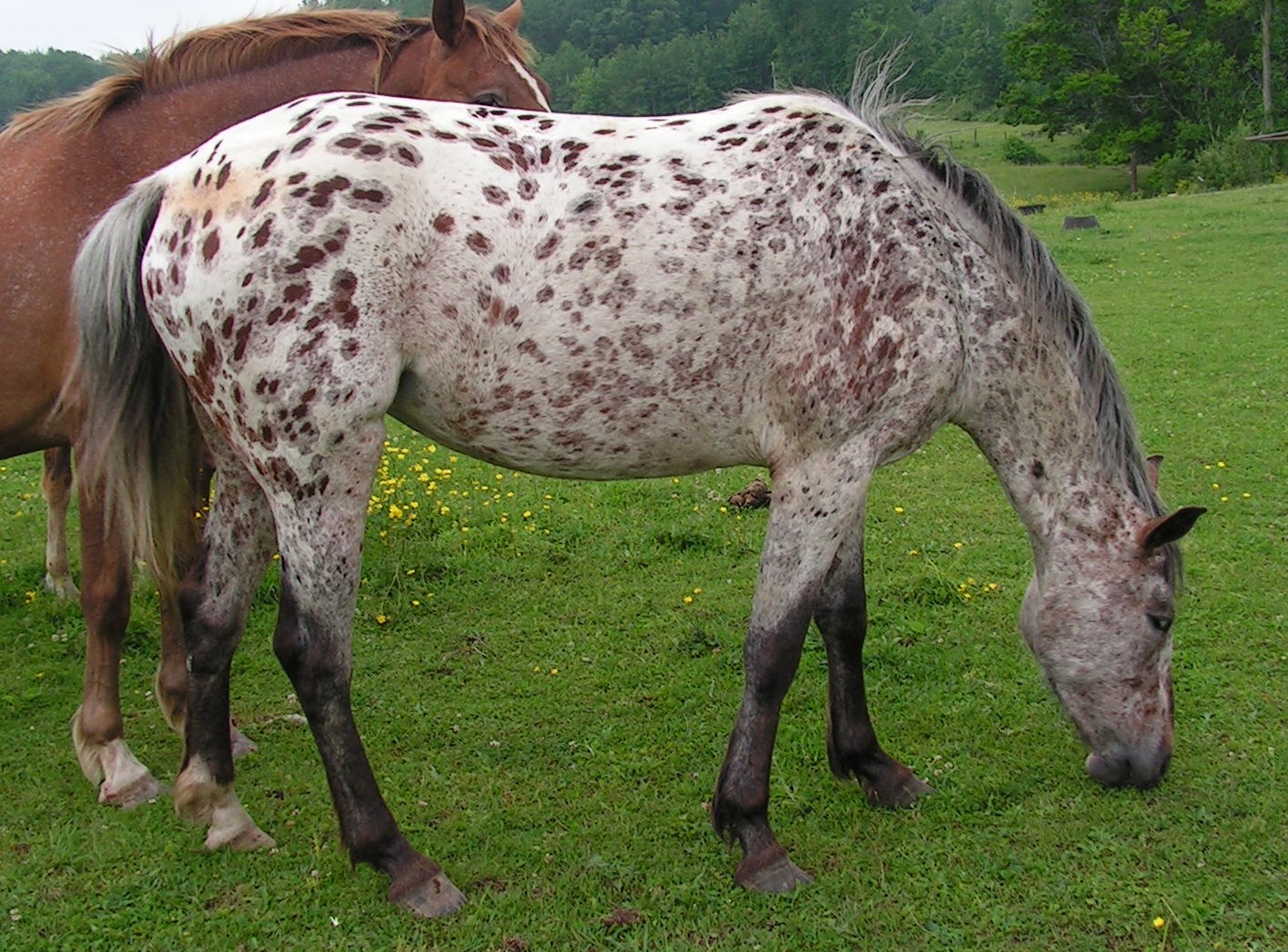 Stable Days Five Fun Facts Of My Favorite Horse Breeds Appaloosa