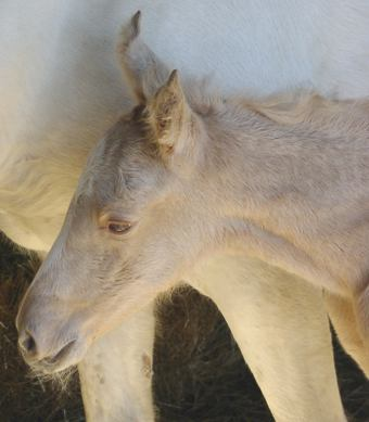 First_Missouri_Fox_Trotting_Foal_of_2002