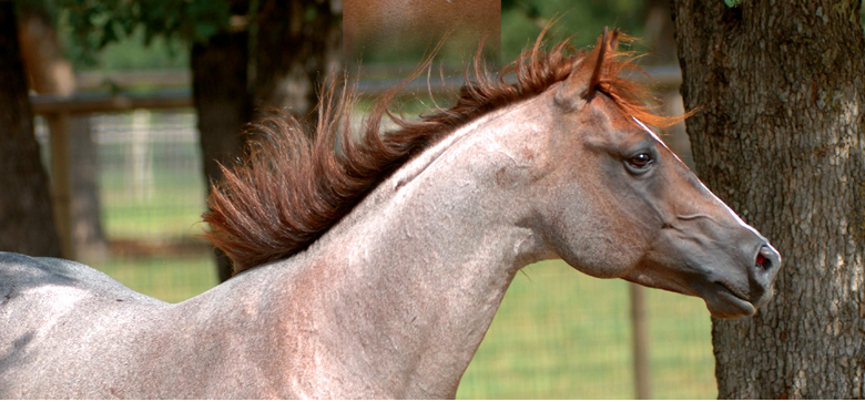 Stallions_top