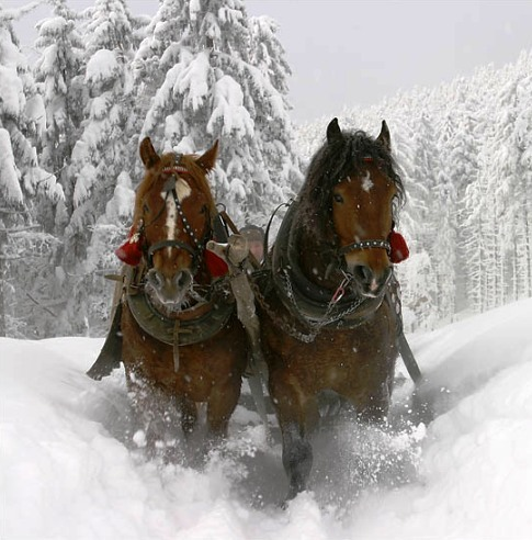 Clydesdales-in-snow
