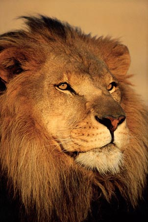 Lgpp30897+close-up-of-a-lion-african-wildlife-photography-poster