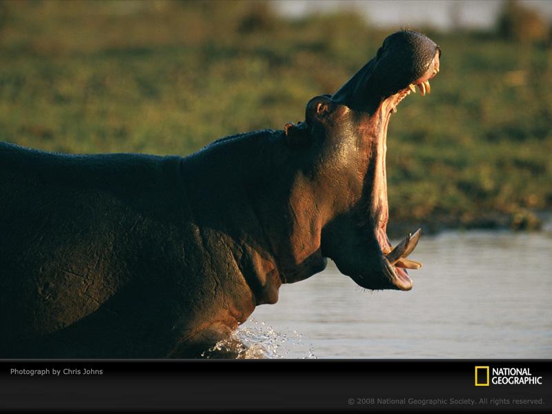 Hippopotamus-johns-504735-sw