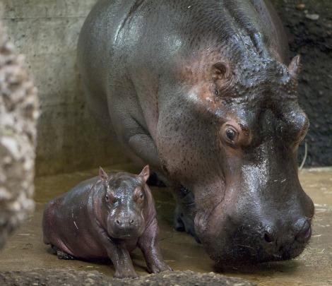 Newly Born Newly Born Hippos