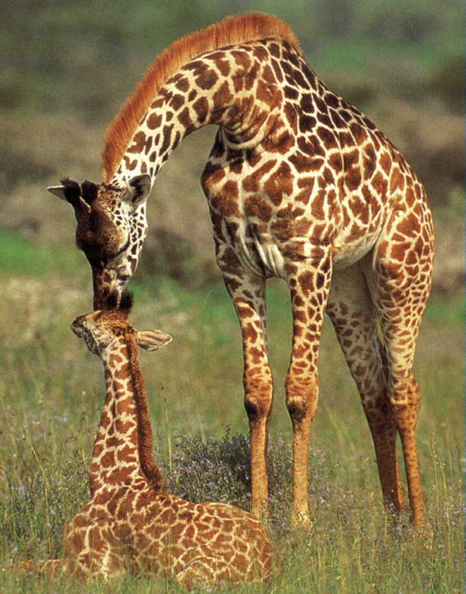Giraffe-12