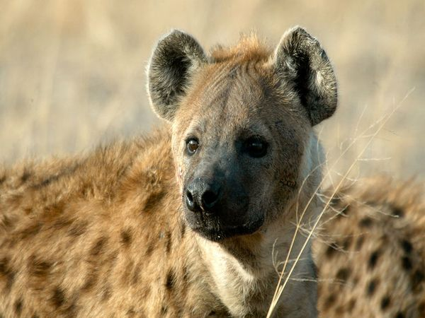 Spotted-hyena_720_600x450