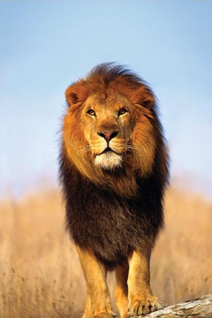 Lgpp30296+african-lion-animal-photography-poster