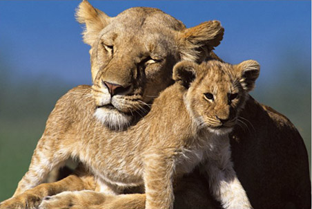 Lgpp30976+mother-and-cub-lions-poster