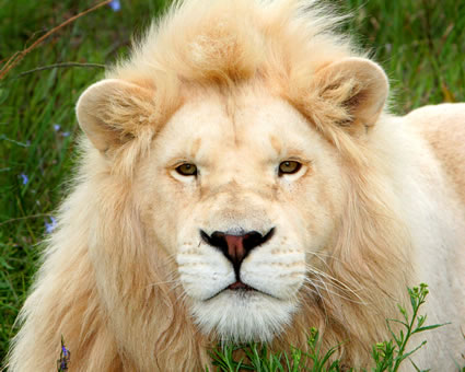 Pearl-white-lion-south-africa