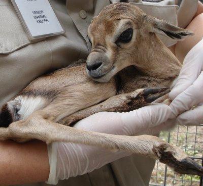 Speakes Gazelle