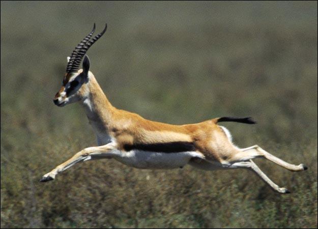 Gazelle-picture