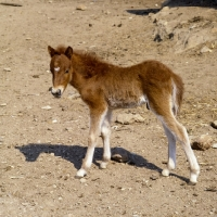 Skyros_pony_foal_on_skyros_isl~AP-7PC2MF-TH