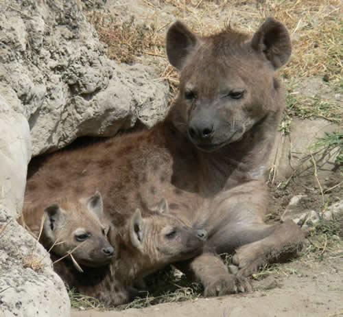 Hyena-cubs-cave