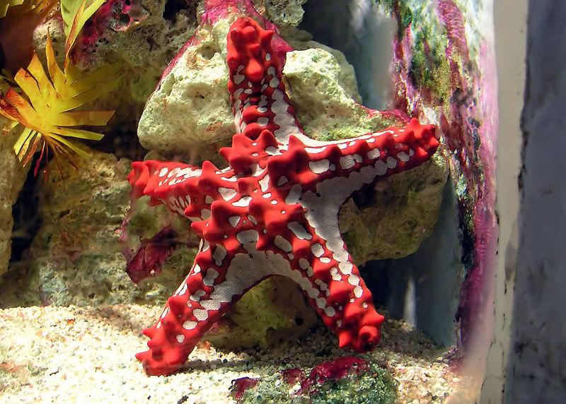 300px-Red-knobbed_starfish_arp