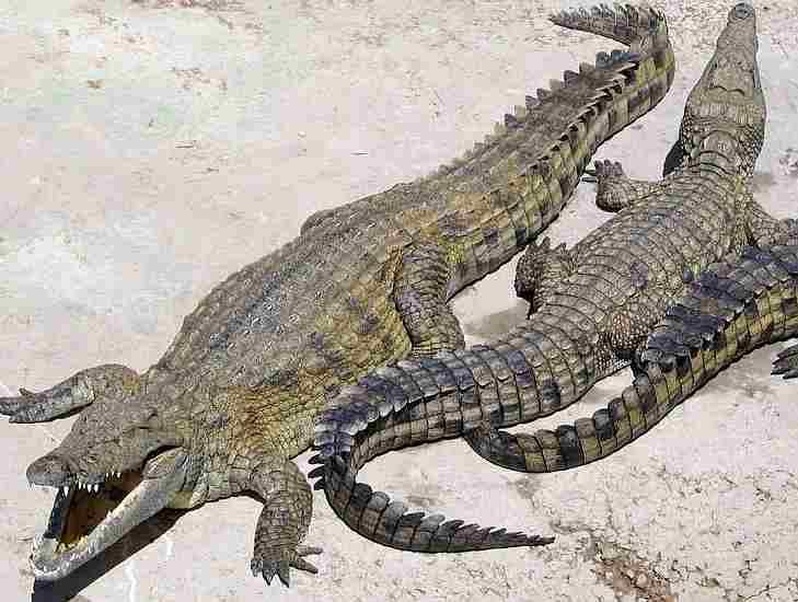 Crocodile_nile_africa