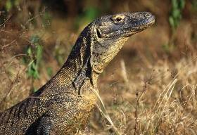Komodo_dragon_getty